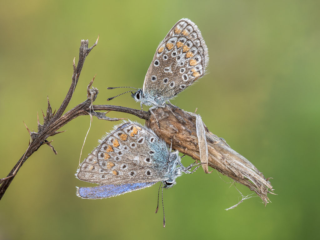 Hauhechel-Bläuling (Paar, Weibchen oben)