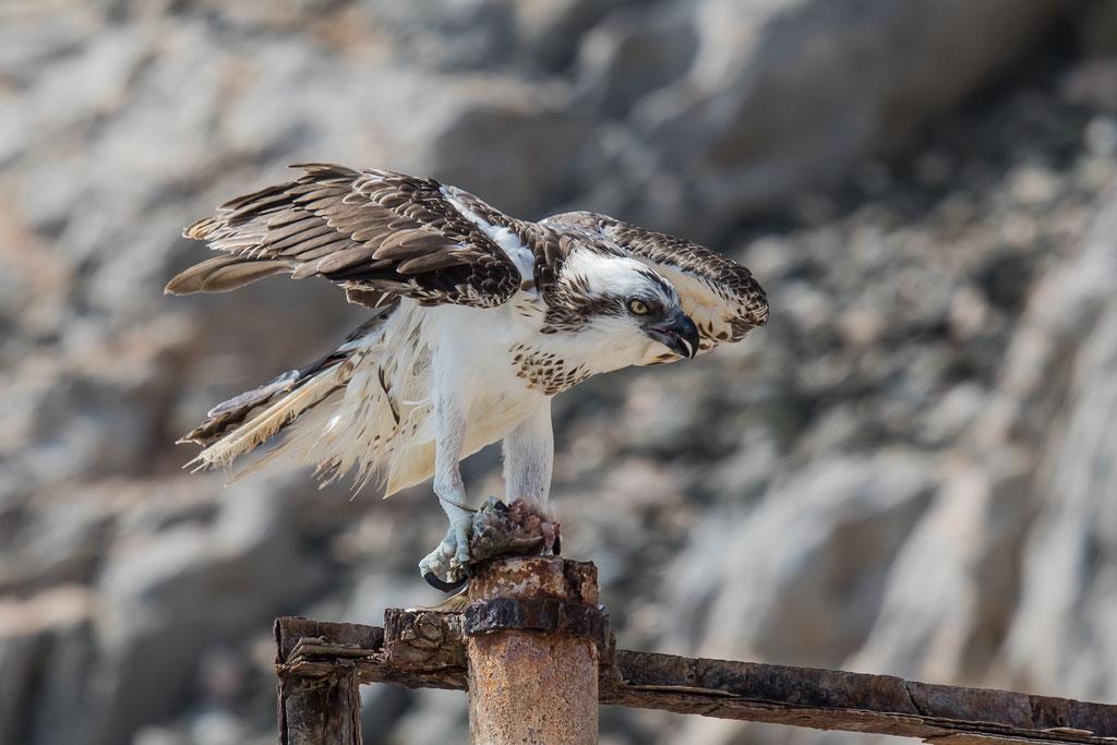 Fischadler - Oman
