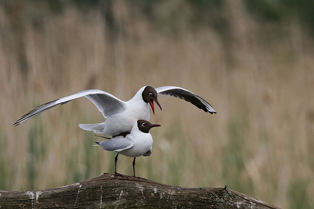 Mouette Rieuse 2 Brenne 2014