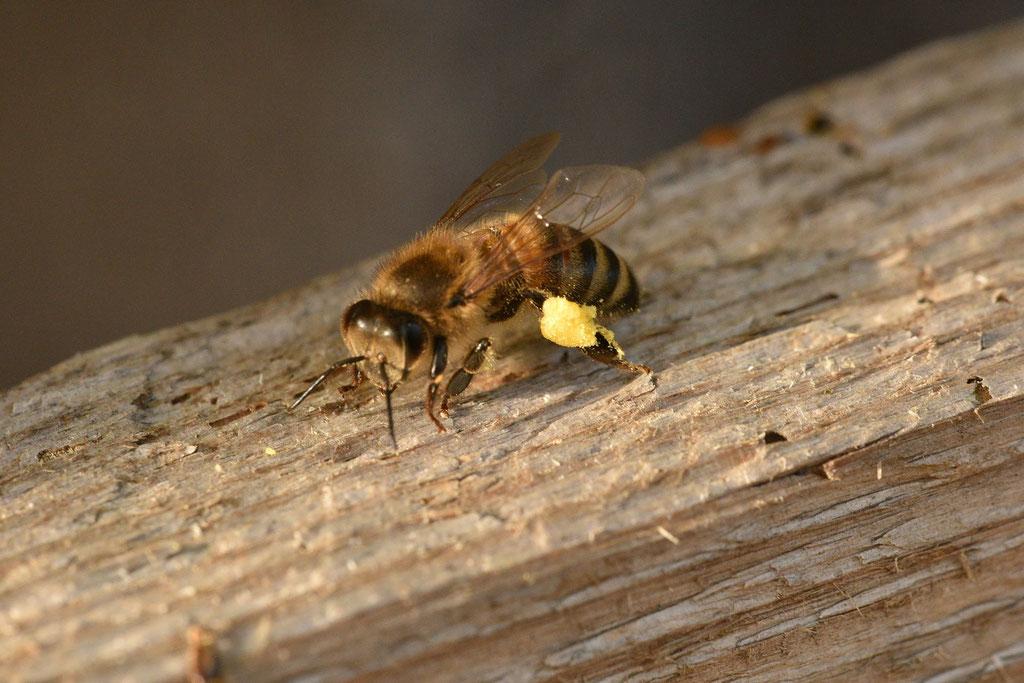 """Une de """"nos"""" abeilles, bien chargée"""