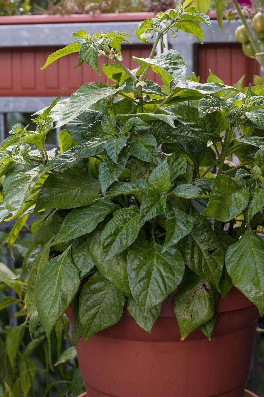 Habenero- Pflanze