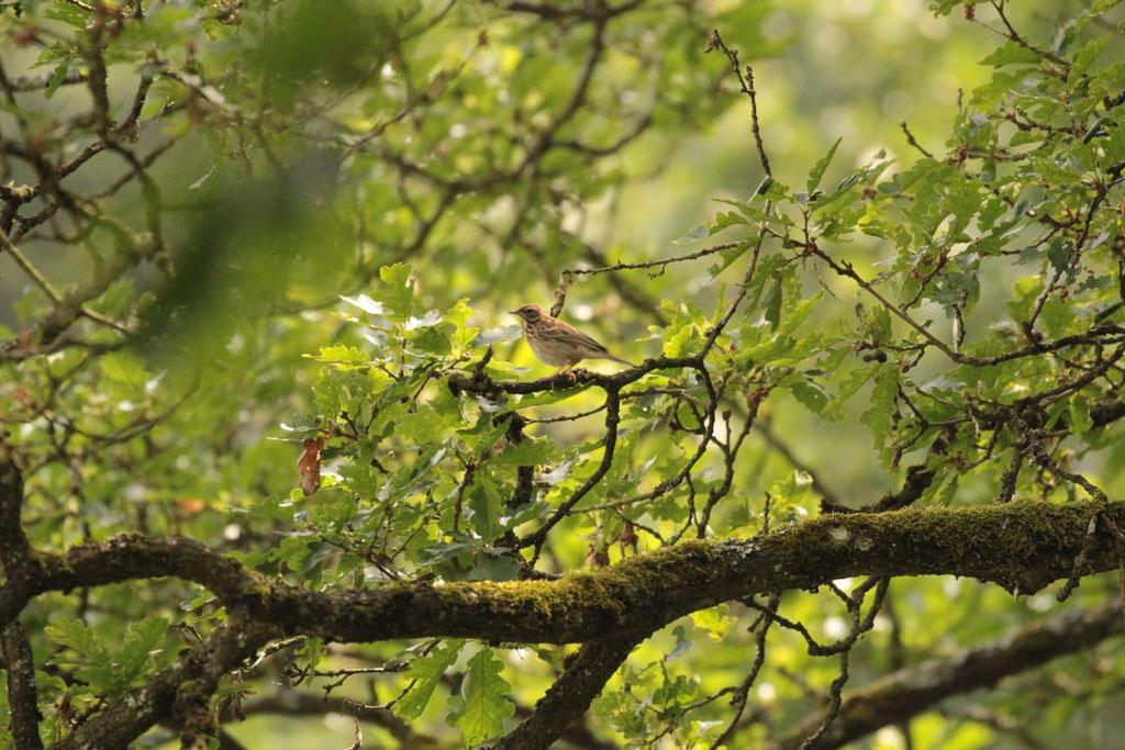 Abbildung 4: Baumpieper (Anthus trivialis), fotografiert von Max Steinmetz