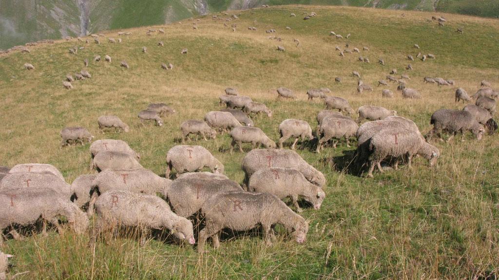 Au milieu des moutons.