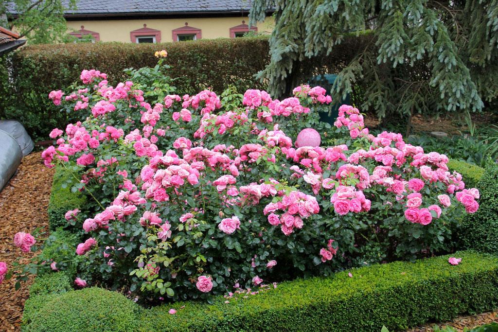 Aufgrund des warmen Sommerwetters waren viele Rosen bereits verblüht. Diese jedoch haben noch auf uns gewartet.
