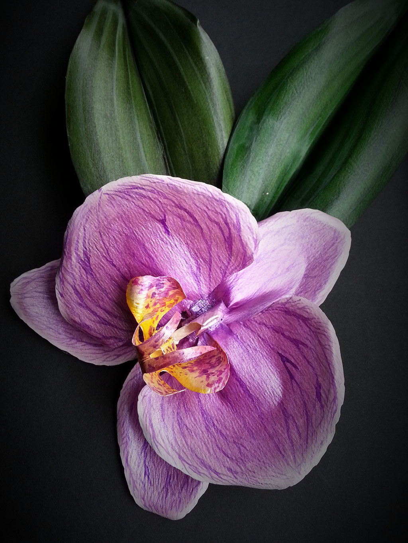 Orchidea spilla