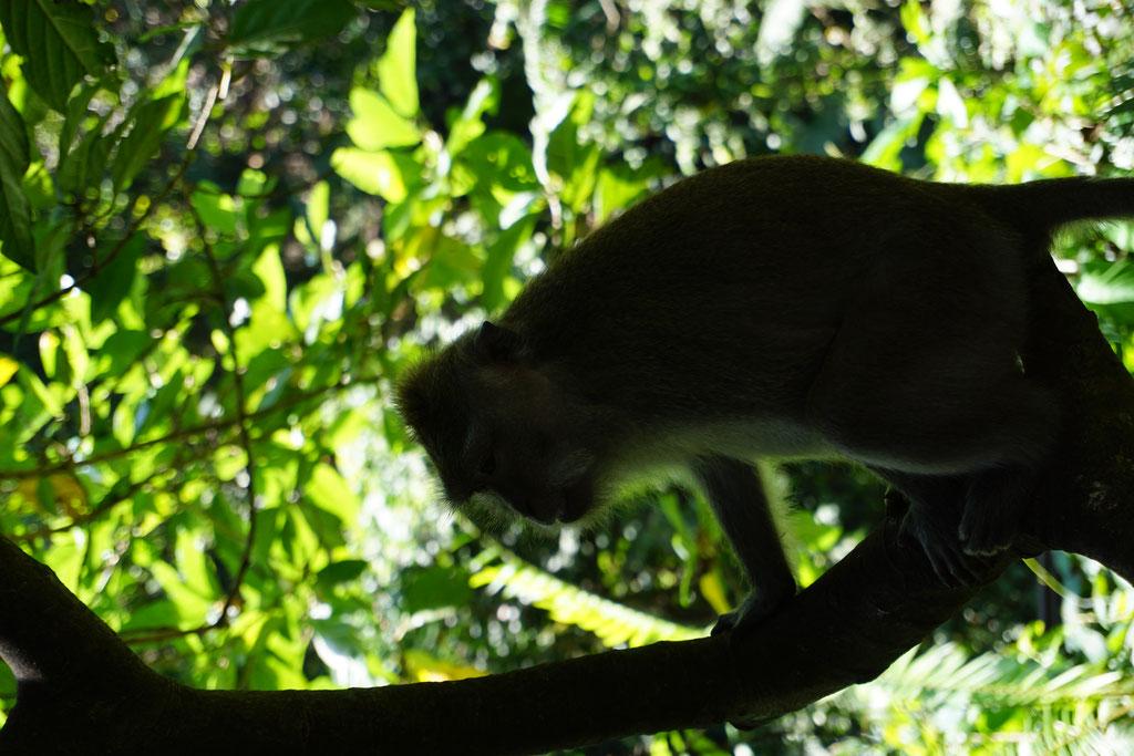 Affe im Affenwald von Ubud