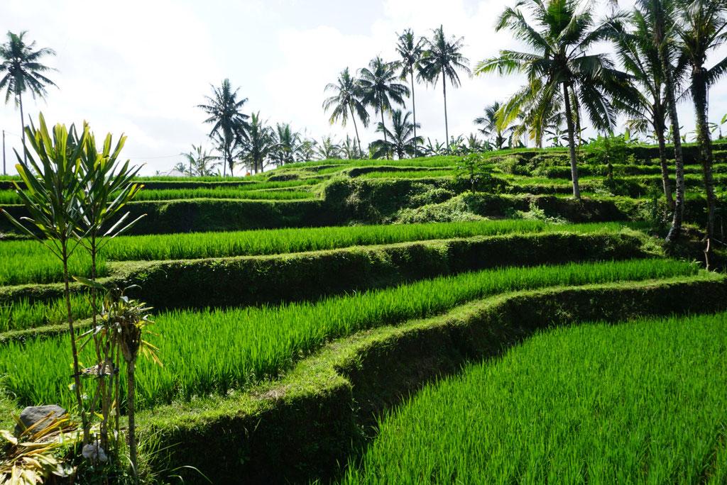 Tagelang Reisterrassen in der nähe von Ubud und den schönsten Hotels der Insel dem Natya Ubud und Samsara Ubud mit privaten Villa pool