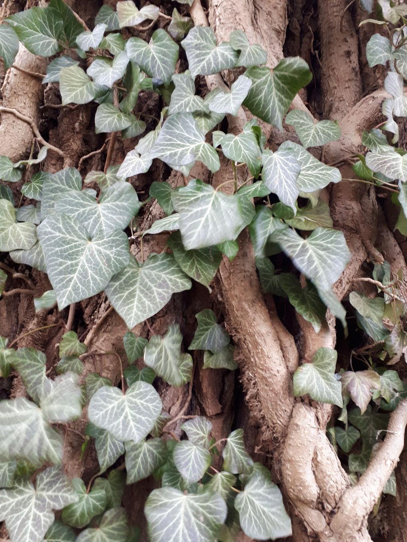 EFEU (Hedera helix) - Ranken und Blätter.