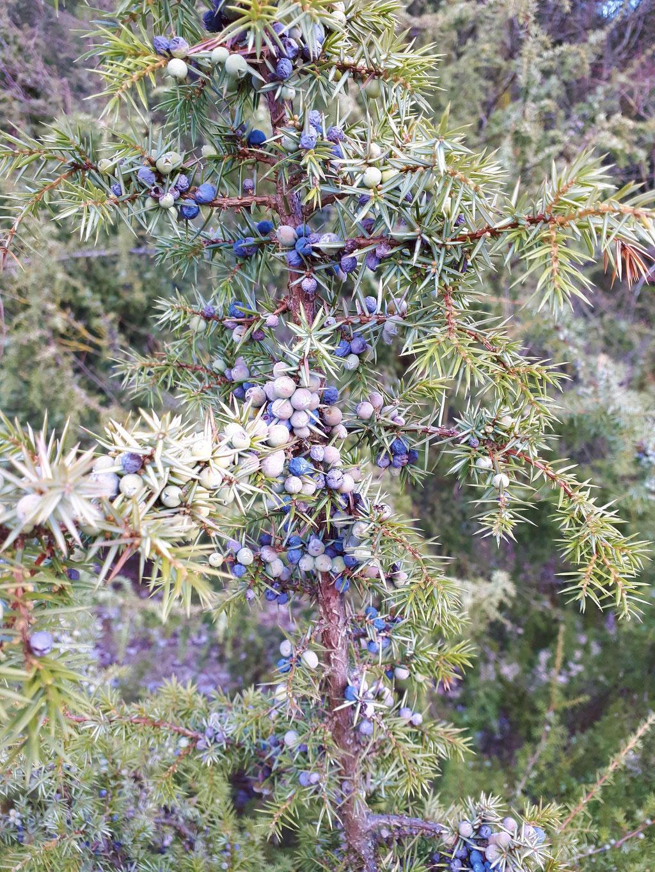 WACHOLDER (Juniperus communis) - Zweige mit unreifen und reifenden Beeren.