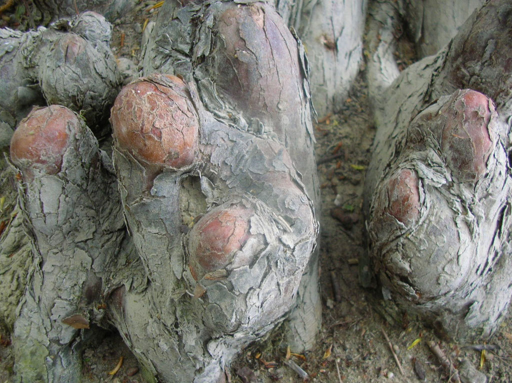 """SUMPFZYPRESSE (Taxodium distichum) - Wurzeln mit """"Atemknien"""""""