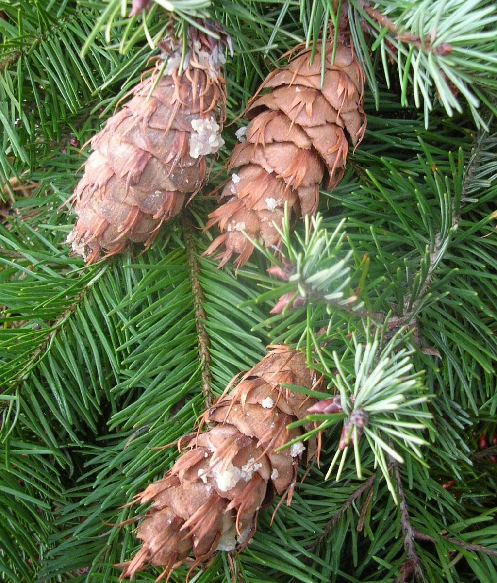 Douglasien-Zweige mit Zapfen und Nadeln.