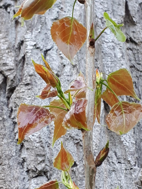 Frischer Laubaustrieb einer Pappel etwa Mitte April.
