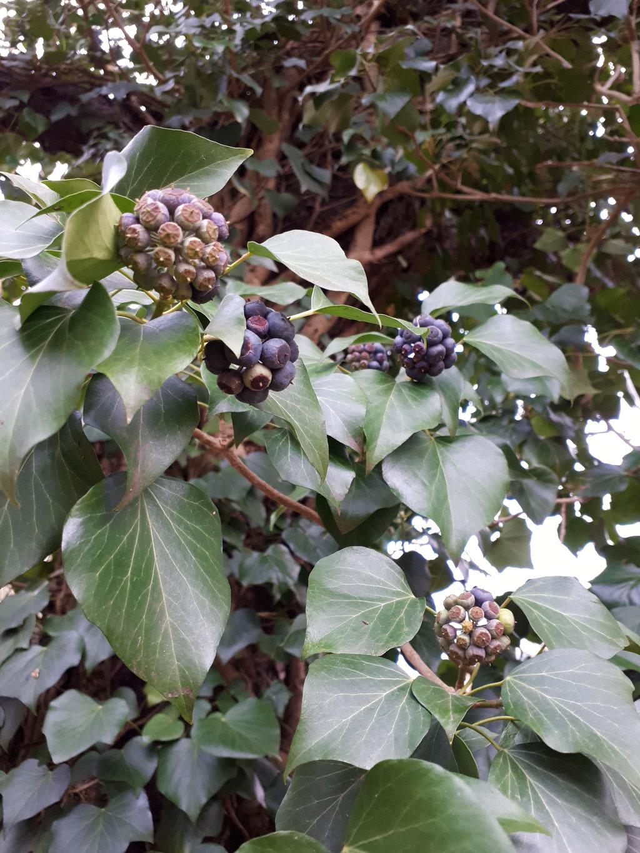 EFEU (Hedera helix) - Laub und Früchte im Spätwinter.