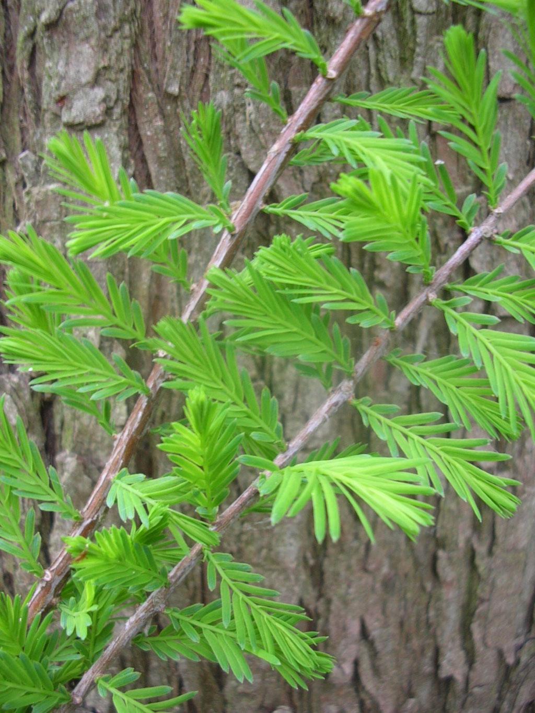 SUMPFZYPRESSE (Taxodium distichum) - Zweige mit Nadeln im Frühjahr