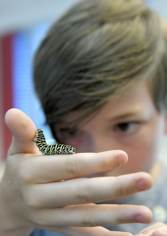 Auge in Auge mit einer Schmetterlingsraupe. (Bild: Andreas Eggenberger, LMVZ)