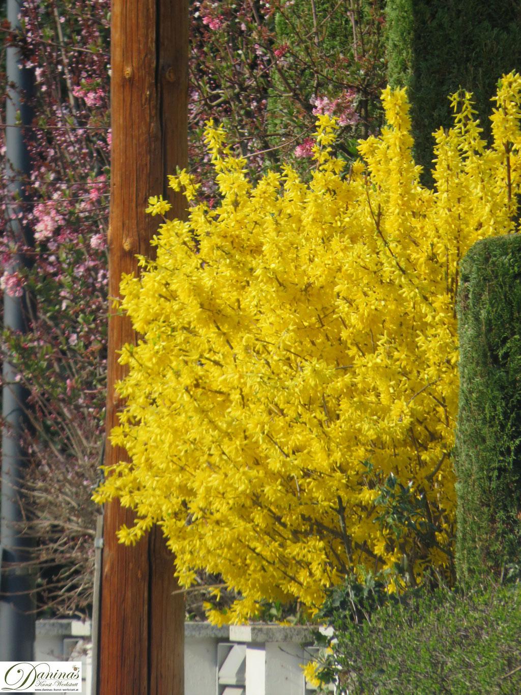 Gelb blühender Forsythienstrauch im Frühling