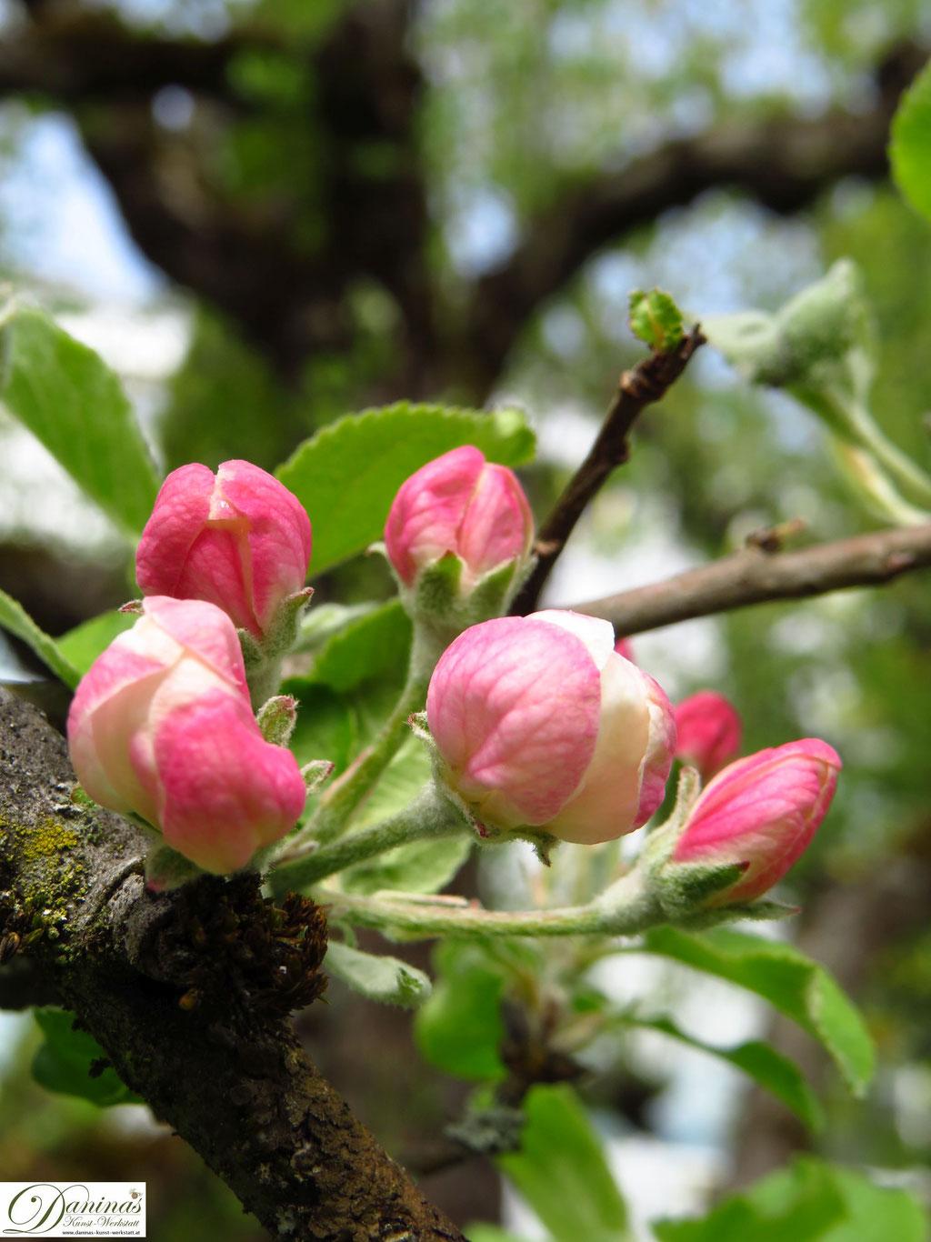 Apfelbaum - erste Apfelknospen im Frühling