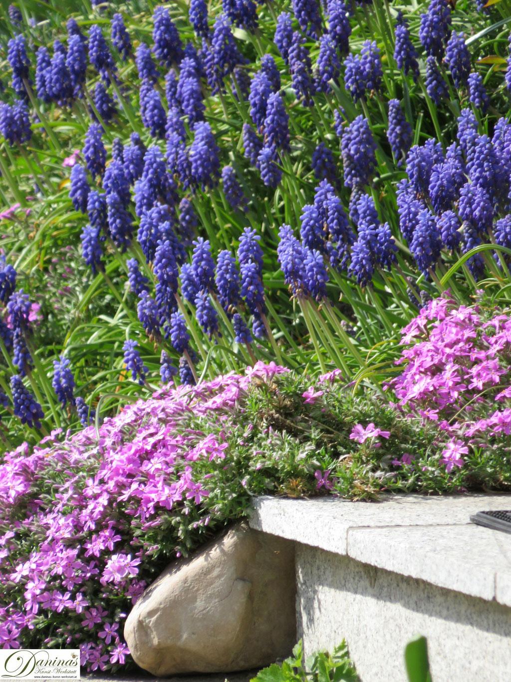 Garten im Frühling - Frühlingsblumen im Beet. Traubenhyazinthen & Polsterflox