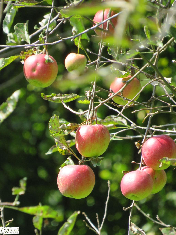 Im Herbst die reifen Äpfel ernten und einen leckeren Apfelkuchen nach einem Rezept von Daninas-Dad backen