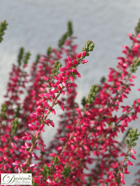 Typische Friedhofsblume im Herbst: rosa Besenheide