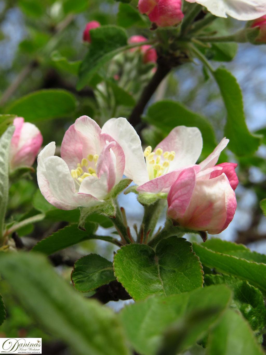 Apfelbaum - erste Blüten im Frühling