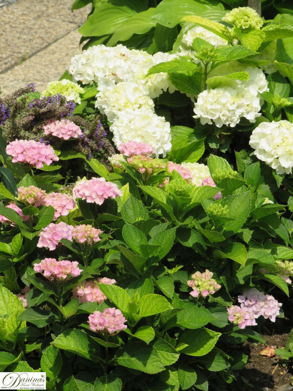 Rosa und weiße Hortensien