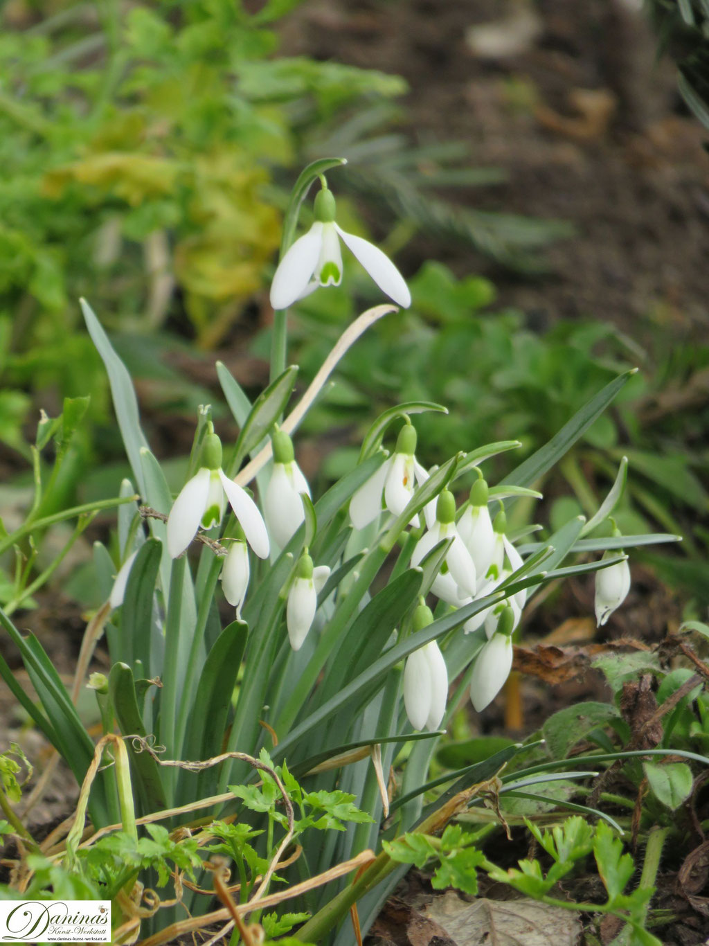 Echte Schneeglöckchen gehören zu den ersten Frühlingsblumen