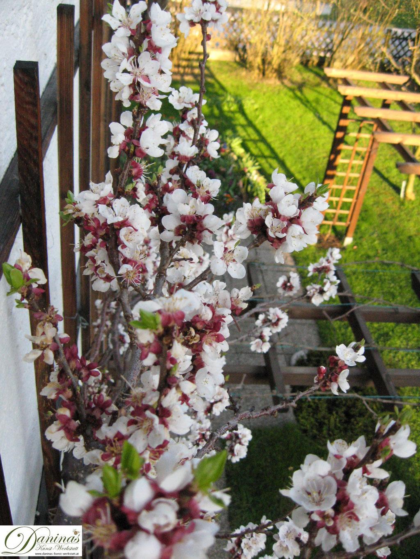 Ein blühender Aprikosen im Frühjahr ist eine ergiebige Nahrungsquelle für Bienen und Insekten und gehört in jeden Naturgarten