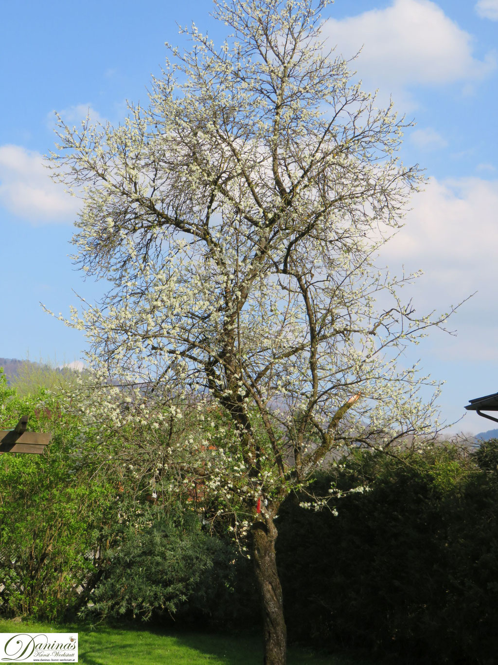 Blühender Pflaumenbaum (Zwetschkenbaum) im Frühling