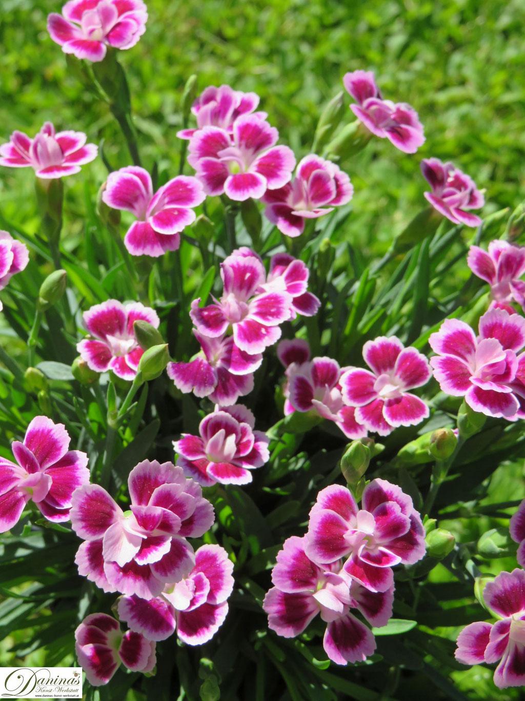 Rosa blühende Nelken im Garten