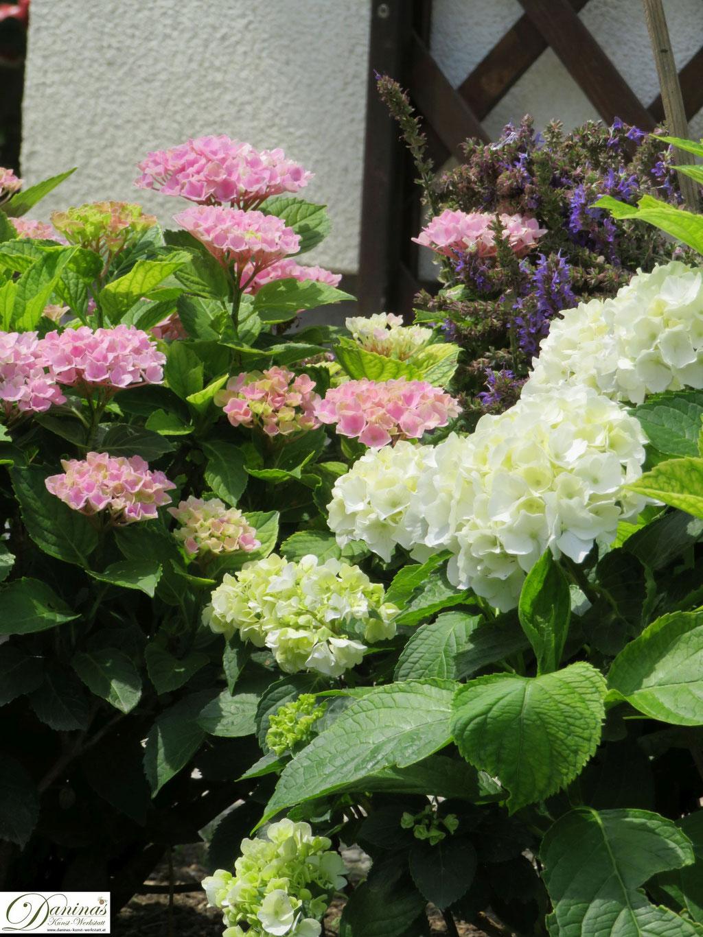 Beet mit weißen und rosa Hortensien