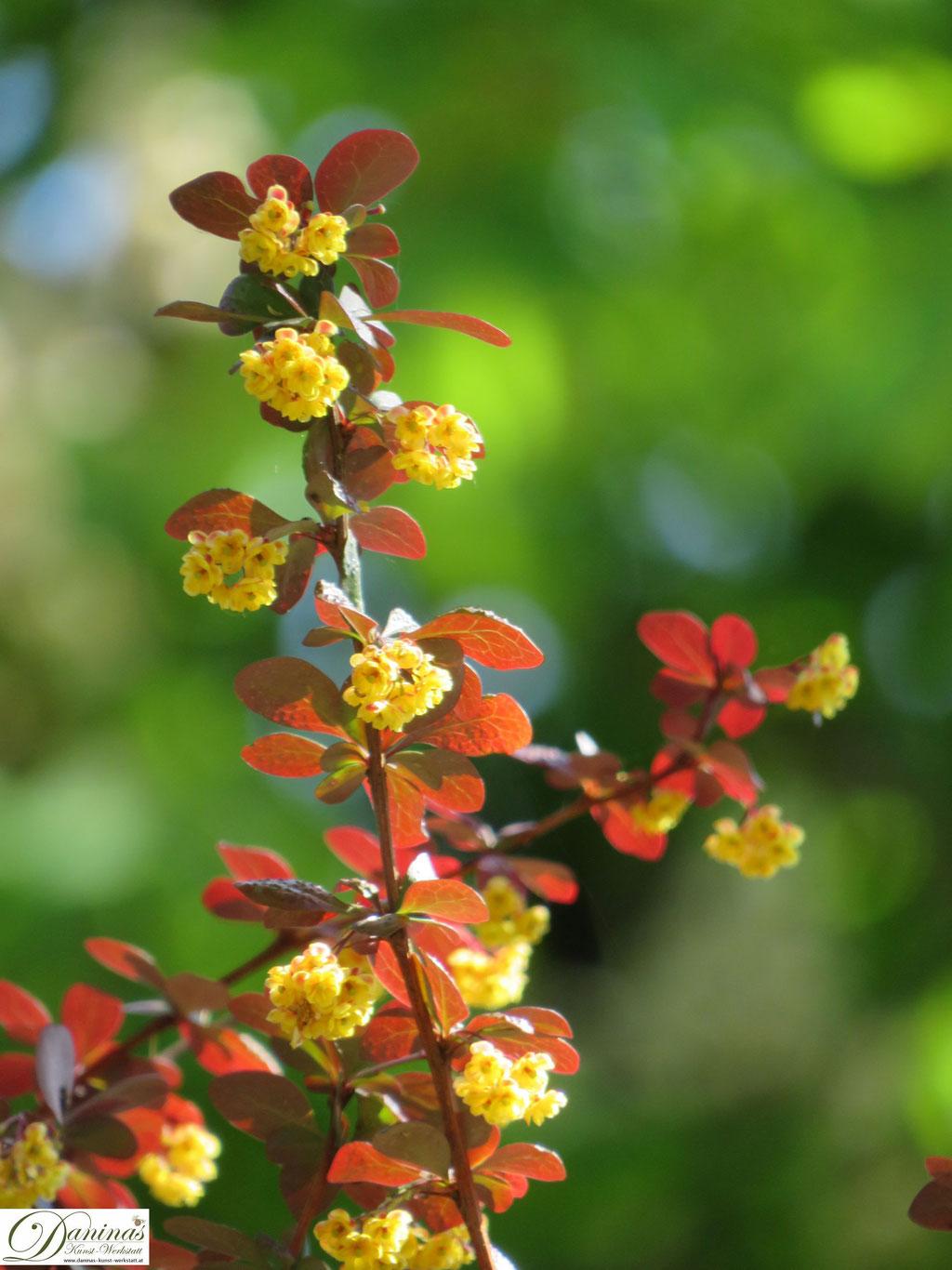 Berberitze mit gelb-roten Blättern