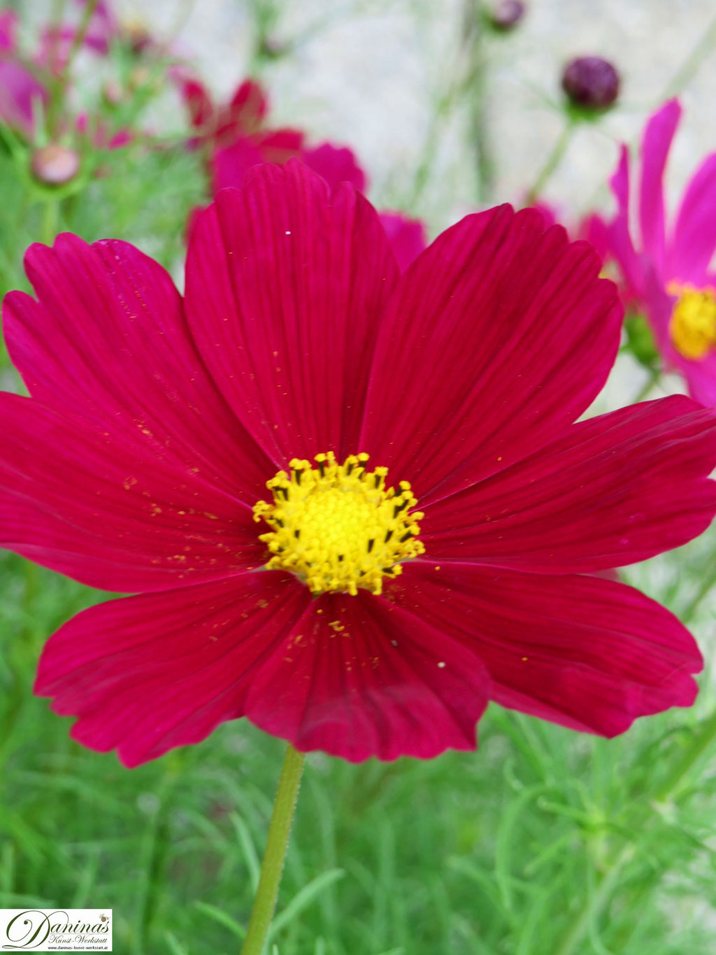Schmuckkörbchen (Cosmea) - mehrjährige Sommerblume