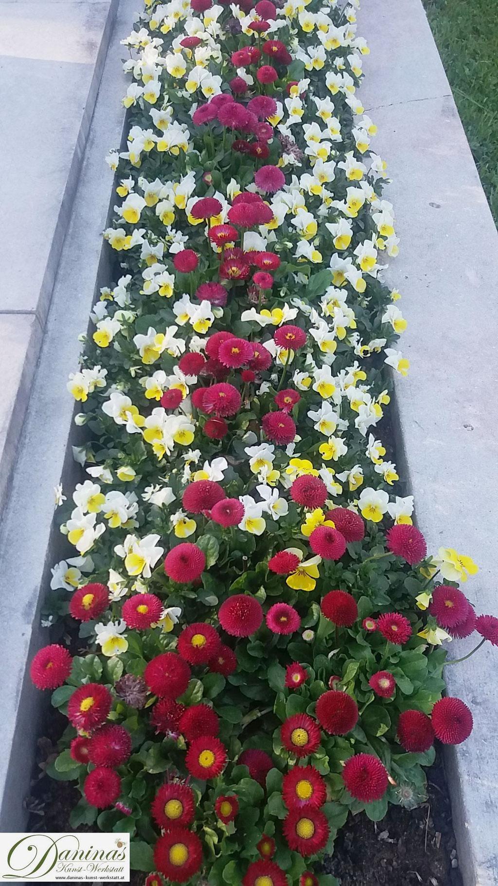 Grabbepflanzung mit roten Bellis und weiß-gelben Stiefmütterchen