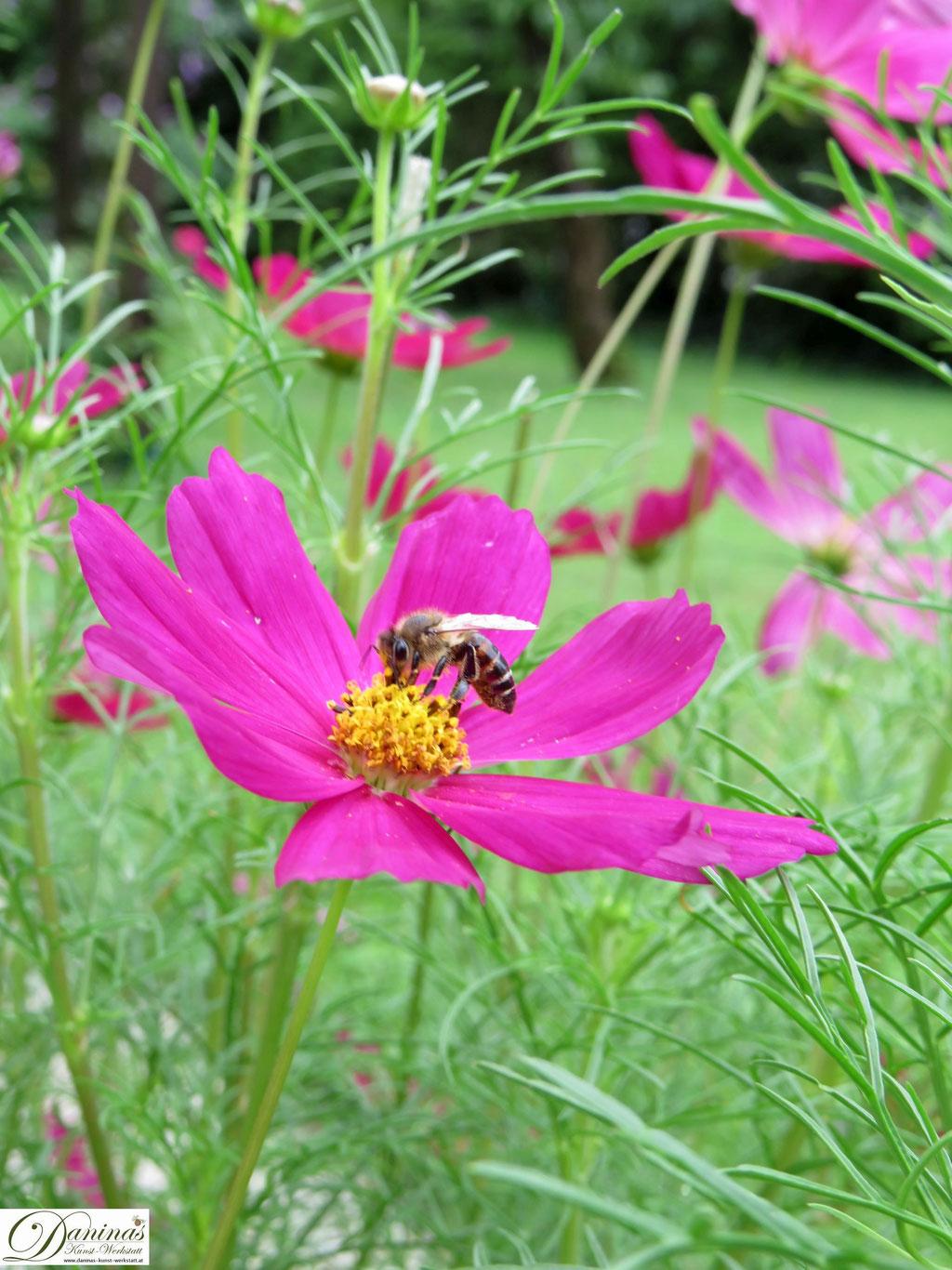 Schmuckkörbchen (Cosmea) - bienenfreundliche Blume