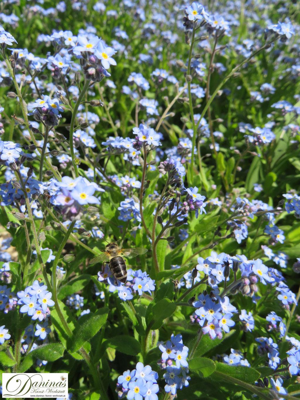 Das nektarreiche Vergissmeinicht zieht Bienen und andere Insekten magisch an und gehört in jeden naturnahen Frühlingsgarten