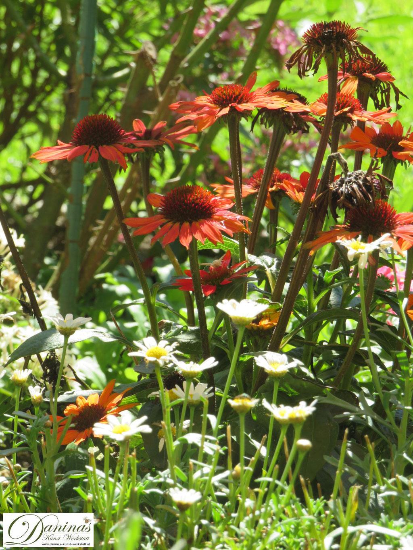 Echinacea und Margeriten sind für Bienen und andere Insekten eine wertvolle Nahrungsquelle im Sommer und gehören in den Naturgarten