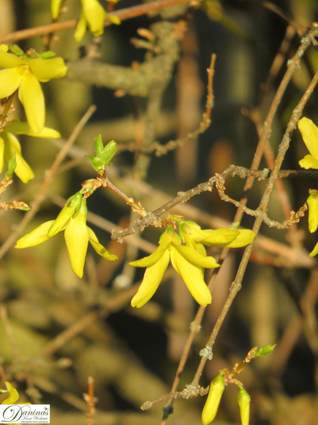 Gelbe Forsythie - Blüten im Frühling
