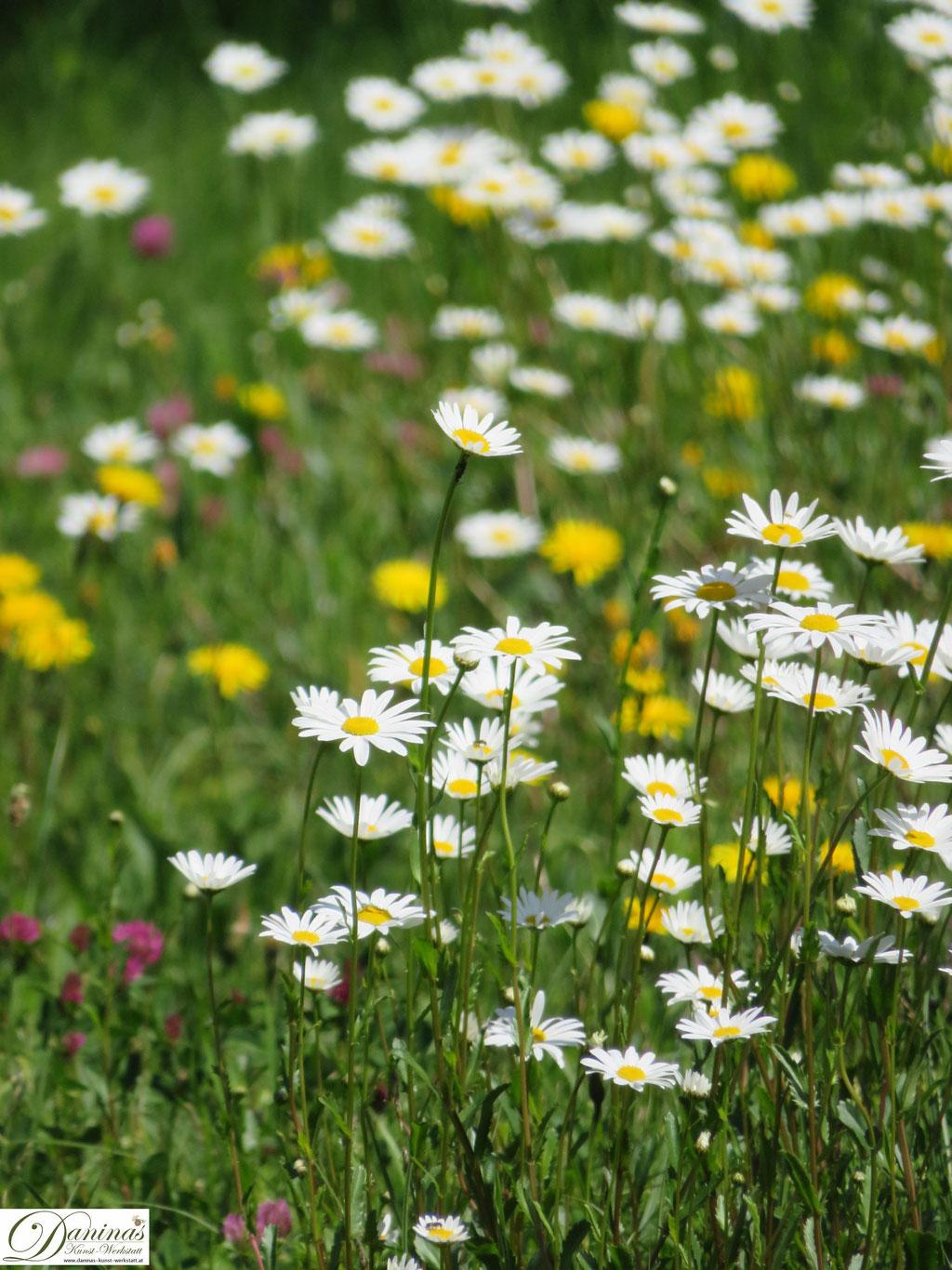 Blumenwiese mit Margeriten, Löwenzahn und blühendem Klee