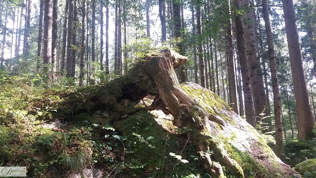 Baumwurzel um Felsen