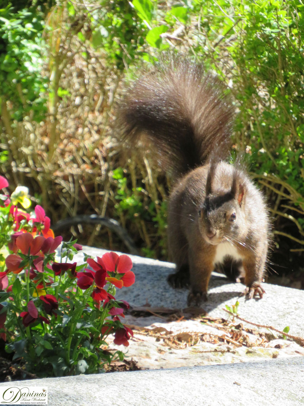 Eichhörnchen auf Nahrungssuche im Blumenbeet