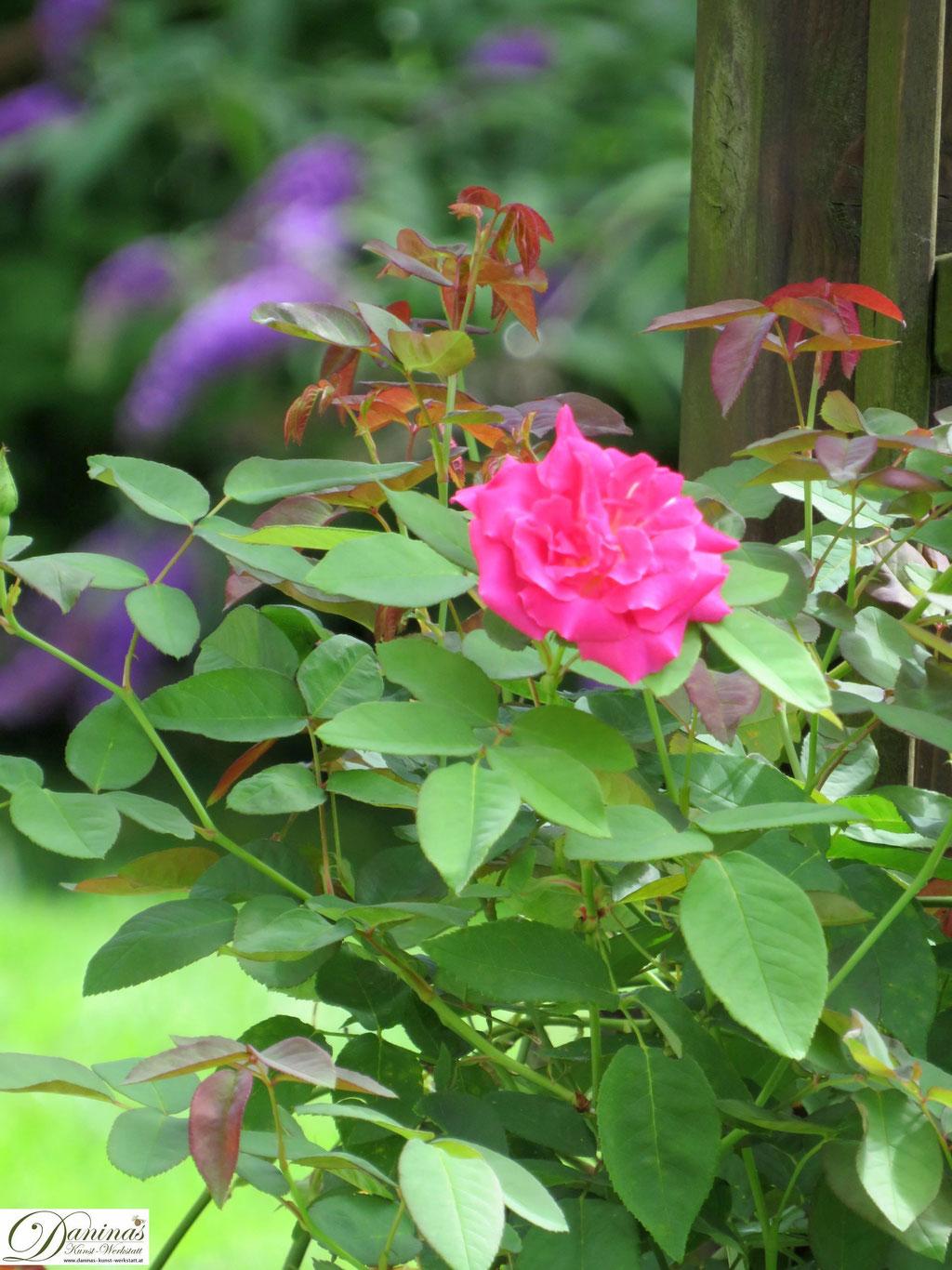 Rosen im Sommer