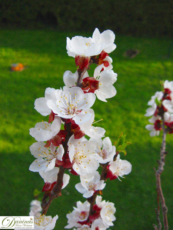 Aprikosenblüten (Marillenblüten) im Frühling