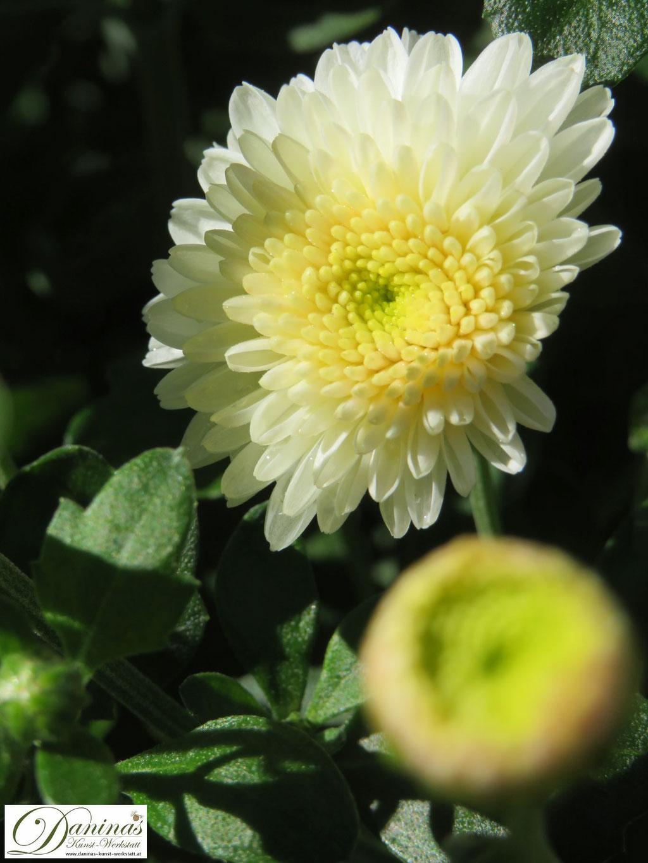 Typische Friedhofsblumen im Herbst: Winterharte gelbe Garten-Chrysantheme