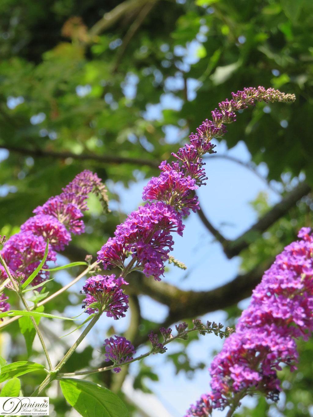 Sommerflieder - der Schmetterling Strauch