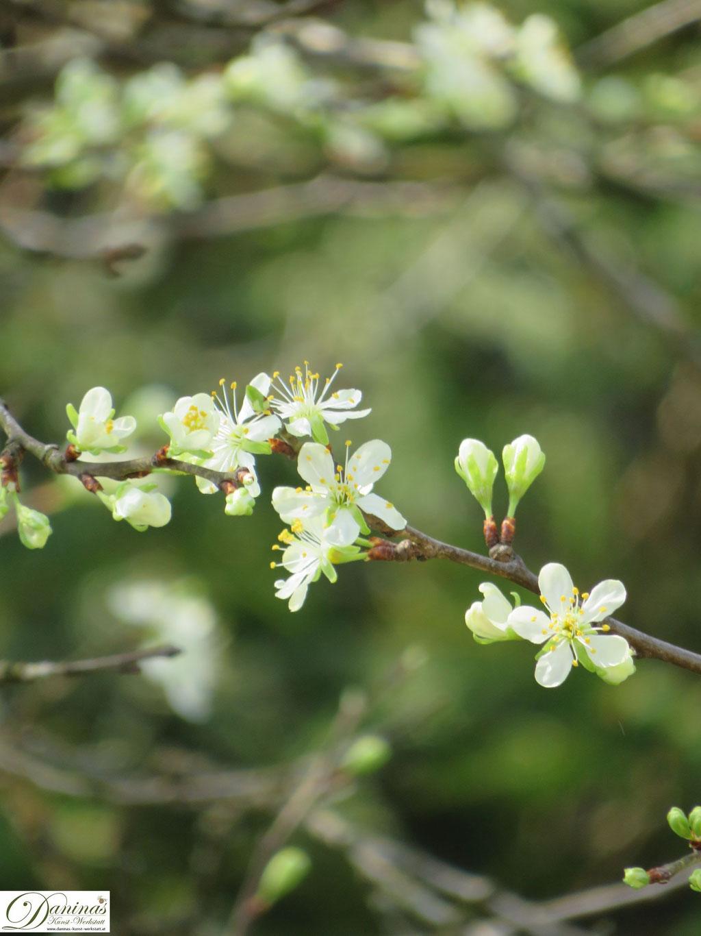 Pflaumenbaum (Zwetschkenbaum) - Blüten im Frühling
