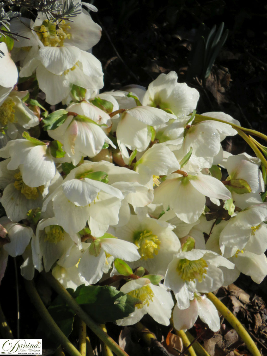 Schneerose oder Christrose gehört zu den ersten Frühlingsblumen