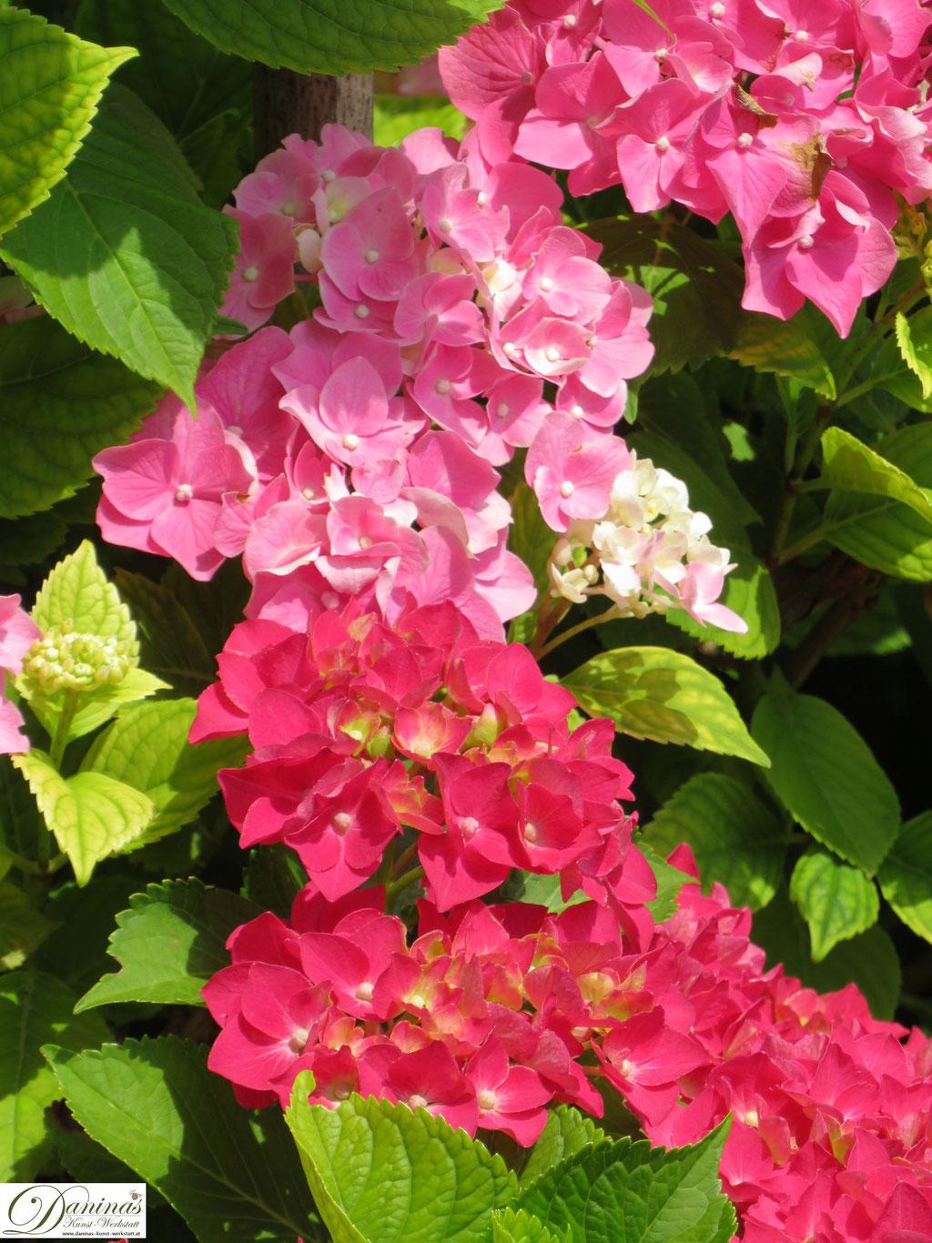 Rosa und rote Hortensienblüten
