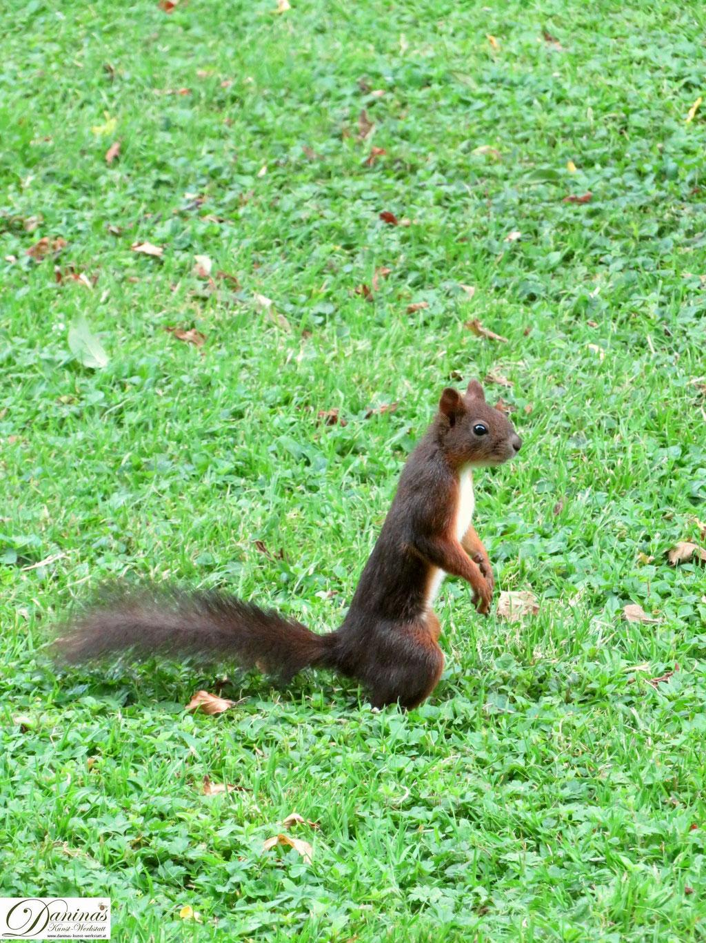 Aufmerksames Eichhörnchen im Rasen