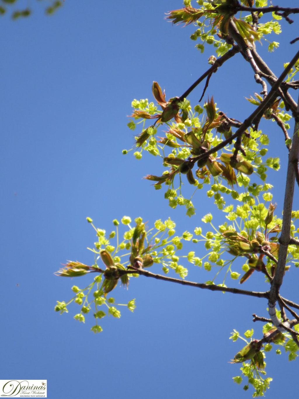 Ahorn Blüten im Frühling